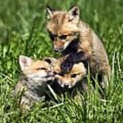 Red Fox Babies - D006647 Art Print