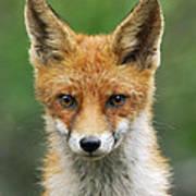 Red Fox Vulpes Vulpes, Hoge Veluwe Art Print