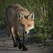 Red Fox Walking Art Print