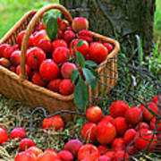Red Fresh Plums In The Basket Art Print