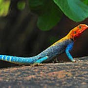 Red-headed Agama Art Print