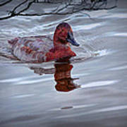 Red Headed Duck Art Print