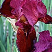 Red Iris Duo Art Print