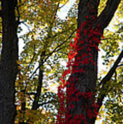 Red Ivy Climb Art Print