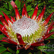 Red King Protea Art Print