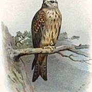 Red Kite, Historical Artwork Art Print