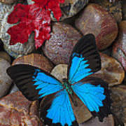 Red Leaf And Blue Butterfly Art Print