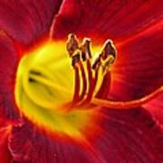 Red Lily Center 3 Art Print