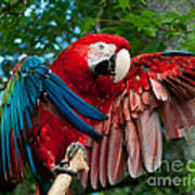 Red Macaw Art Print