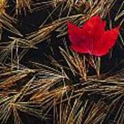 Red Maple Leaf On Pine Needles In Pool Art Print by Mike Grandmailson