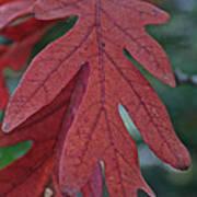 Red Oak Leaf Art Print