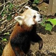 Red Panda Feeding Time Art Print
