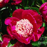 Red Peony Flowers Series 3 Art Print