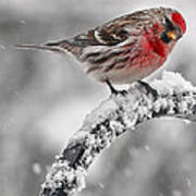 Red Poll - Cold But Hungry Art Print