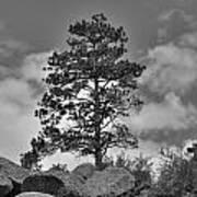 Red Rock Pine Art Print