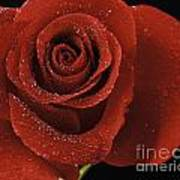 Red Rose With Water Drops Art Print