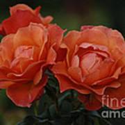 Red Roses  Art Print
