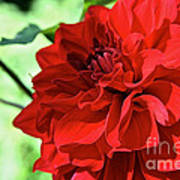 Red Ruby Dahlia Art Print