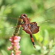 Red Saddlebag Dragonfly In The Marsh Art Print