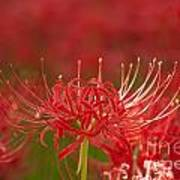 Red Spider Lily-1 Art Print