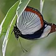 Red Spot Diadem Butterfly Art Print