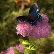 Red Spotted Purple Butterfly On Sedum Art Print