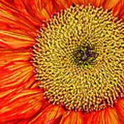 Red Sunflower Iv Art Print