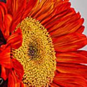 Red Sunflower V Art Print