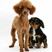 Red Toy Poodle And Cavalier King Art Print