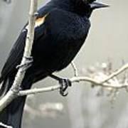 Red-winged Blackbird Agelaius Art Print