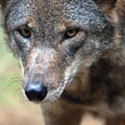 Red Wolf Closeup Art Print