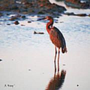 Reddish Egret Basking In The Sunset Art Print