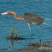 Reddish Egret Hunting Art Print