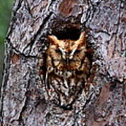 Reddish Screech Owl Art Print
