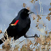 Redwing Blackbird Art Print