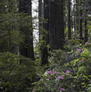 Redwoods 3 Art Print