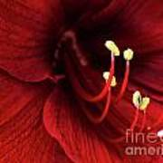 Ref Lily Art Print