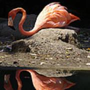Reflections Of A Flamingo Art Print