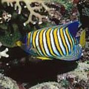Regal Angelfish In Coral Reef Art Print