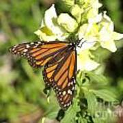 Monarch Butterfly Feeding On A Cluster Of Yellow Flowers Art Print