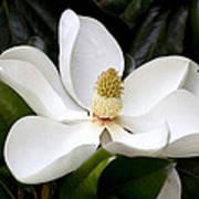 Regal Southern Magnolia Blossom Art Print