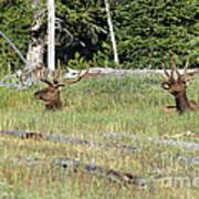 Relaxed Elk Art Print