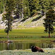 Resting Buffalo By Pond Art Print