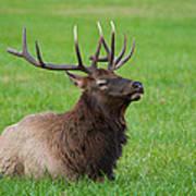 Resting Elk Art Print