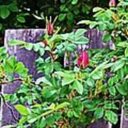 Resting Rosebuds Enhanced Art Print