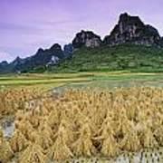 Rice, Yangshuo, Guangxi, China Art Print