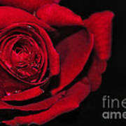 Rich Red Rose Art Print