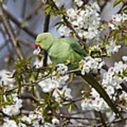 Ring-necked Parakeet Art Print