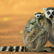 Ring-tailed Lemur Mother And Baby Art Print