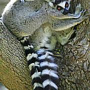 Ring-tailed Lemurs Madagascar Art Print